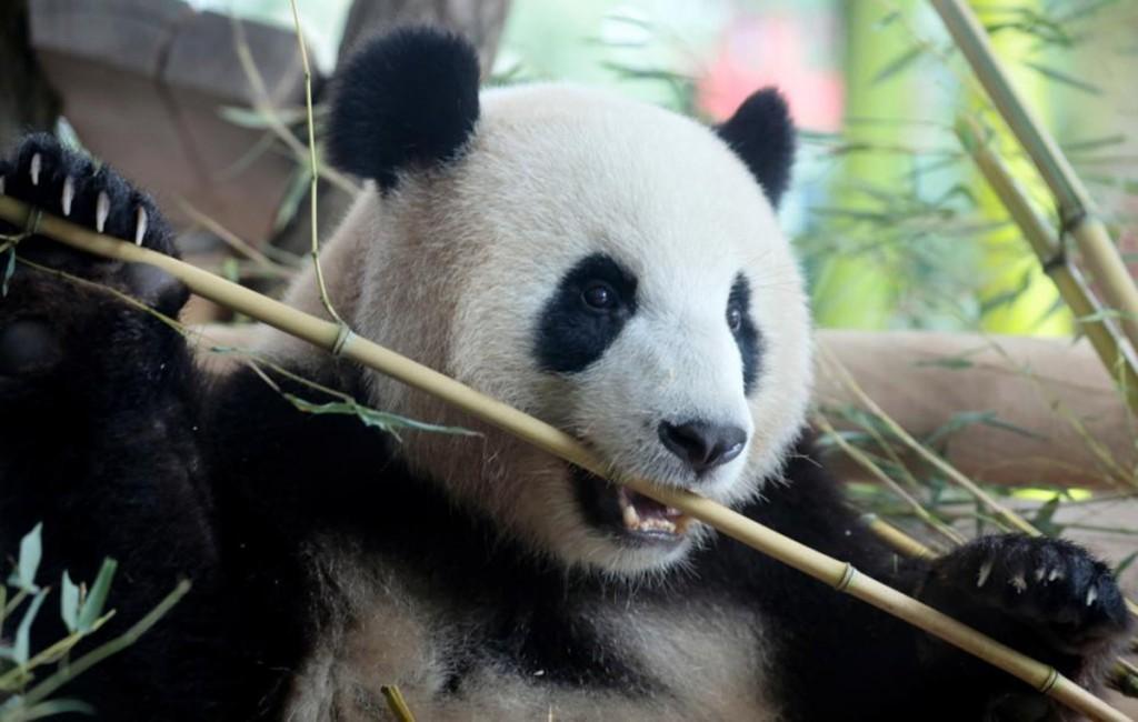 Oso panda en china